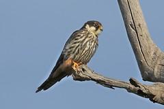 Eurasian Hobby (Falco subbuteo) -Vagrant (johnedmond) Tags: perth northlake beelairwetlands westernaustralia raptor birdofprey hobby bird nature wildlife eos7d ef100400mmf4556lisiiusm eos canon