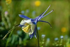 Mel'Ancolie .... (.Sophie C.) Tags: ancolie fleur flore jardin dansmonjardin leshautsdefrance cambrésis nord 59