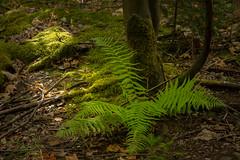 Unser Wald  (22) (berndtolksdorf1) Tags: deutschland thüringen wald farn grün outdoor