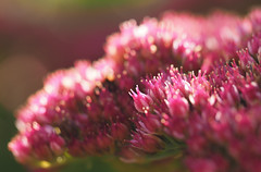 pink (Johnson Cameraface) Tags: 2019 october autumn olympus omde1 em1 micro43 mzuiko 60mm macro f28 johnsoncameraface sheffieldbotanicalgardens sheffield pink flower botanical gardens unseen2019