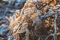 Frosty light (fredrikamarias) Tags: winter finland dof bokeh backlight lens flare nature depth field