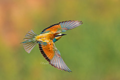 Merops apiaster, Μελισσοφάγος, European bee-eater (belas62) Tags: beeeater bird rainbow ngc greece bif πουλί