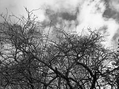 Winter Tree Tops (Roy Richard Llowarch) Tags: treetop treetops tree trees clouds cloud cloudy winter sunshine sunny sun sky skies blue blueskies bluesky brown white wintertime nature seasons weather beautiful beauty leaf leaves branch branches fareham royllowarch royrichardllowarch llowarch scenic scenicviews views hampshire hampshireengland farehamhampshire color colour colorful colourful twigs january 2020 peaceful peace serenity serene sunday sundays england english bw blackwhite blackwhitephotos blackwhitephotography mono monophotos monophotography greyscale greyscalephotos greyscalephotography monochrome monochromephotos monochromephotography