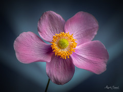 Pink anemone (Magda Banach) Tags: nikond850 anemone blooming blue bluebackground colors delicate flora flower green macro nature plants yellow