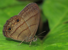 Magneuptychia mimas (Over 6 million views!) Tags: butterfly ecuador satyridae magneuptychiamimas insect butterflies