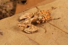 Praying Mantis Nymph (Acromantis sp., Hymenopodidae) (John Horstman (itchydogimages, SINOBUG)) Tags: insect macro china yunnan itchydogimages sinobug entomology canon praying mantis nymph brown hymenopodidae tweet