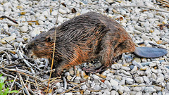 Castor d'Europe (Castor fiber L.) (88) (Didier Schürch) Tags: nature eau lac animal mammifère castor castord'europe castorfiberl wildlife europewildlifemamalngc switzerland nikkor d5500