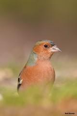 Pinzón comun (r.naranjogasco) Tags: pinzon comun paseriformes fringilla coelebs aves avifauna turiahides ornitologia