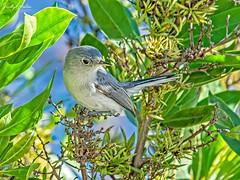 🇺🇸 Blue-gray gnatcatcher FK 8056 (vickyoutenphoto) Tags: vickyouten bluegraygnatcatcher wildlife nature nikon nikond7200 nikkor55300mm floridakeys florida usa