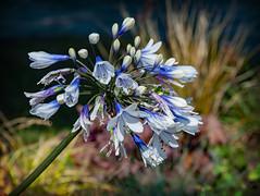 Jolie Agapanthe (.Sophie C.) Tags: flore fleur plante agapanthe essars 62 béthunois artois pasdecalais régionnordpasdecalais leshautsdefrance