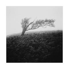 Hawthorn (gerainte1) Tags: hasselblad501 film ilfordpanf50 blackandwhite trees moor mist yorkshire