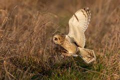 Somewhere quiet for lunch (irelaia) Tags: somewhere quiet for lunch short eared owl wild bird raptor prey wing grass