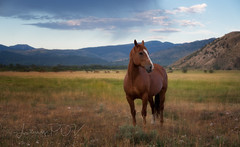 out to pasture (laura's Point of View) Tags: horse mare animal ranch farm pasture mountains morning nature jacksonhole wyoming unitedstates beauty beautiful west western landscape sky lauraspointofview