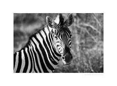 Black & white in black & white (G. Postlethwaite esq.) Tags: bw dof etoshanationalpark namibia unlimitedphotos animal blackandwhite bokeh closeup depthoffield monochrome photoborder selectivefocus southernafrica zebra