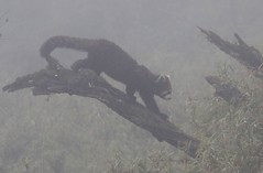 Red Panda climbing down fallen log (Paul Cottis) Tags: labahe sichuan china red panda mountain fog cloud forest bamboo paulcottis 4 november 2019 ailurus fulgens ailuridae mammal tree climb