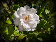 beauté florale (.Sophie C.) Tags: flore fleur plante rose essars 62 béthunois artois pasdecalais régionnordpasdecalais leshautsdefrance