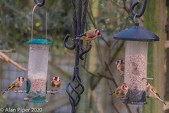 Party of Goldfinches (PapaPiper) Tags: 2020 birds britishbirds gardenbirds gloucestershire england rspb uk unitedkingdom goldfinches