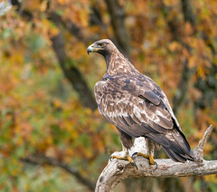 Golden Eagle  : Adult Male (Chas Moonie-Wild Photography) Tags: golden eagle wild aquila raptor prey bird