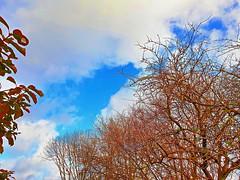 Winter Tree Tops (Roy Richard Llowarch) Tags: treetop treetops tree trees clouds cloud cloudy winter sunshine sunny sun sky skies blue blueskies bluesky brown white wintertime nature seasons weather beautiful beauty leaf leaves branch branches fareham royllowarch royrichardllowarch llowarch scenic scenicviews views hampshire hampshireengland farehamhampshire color colour colorful colourful twigs january 2020 peaceful peace serenity serene sunday sundays england english