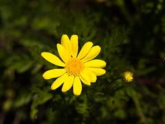 Margarita amarilla o dorada (Euryops pectinatus) - Paquerette. (Andres Bertens) Tags: 2481 olympusem10markii olympusomdem10markii olympusm40150mmf4056r olympusmzuikodigitaled40150mmf4056r olympusmzuikodigitaled40150mm rawtherapee plant margarita euryopspectinatus