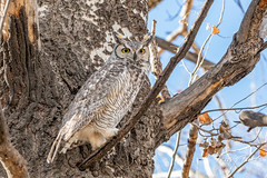 January 11, 2020 - A very alert great horned owl in Thornton. (Tony's Takes)