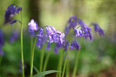 Bluebell       Rodenstock Heligon  50mm F 2.0 (情事針寸II) Tags: woods bokeh oldlens closeup nature wildflower rodenstockheligon50mmf20
