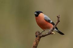 Gimpel.... (normen.nikon) Tags: d4 gimpel 200500 natur wildlife bird vogel tiere berlebach manfrotto wald ruhr