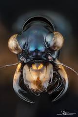 Therates coracinus [Dingalan. Aurora. Luzón. Philippines] (quenoteam) Tags: stacking mitutoyo macro closeup beetle