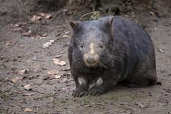 Nacktnasenwombat (DeanB Photography) Tags: 1dx 2020 7dmarkii animals canon tiere tierwelt zoo zooduisburg animal