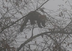 Red Panda clinging to thin branches at top of tree as it looked for fruit (Paul Cottis) Tags: labahe sichuan china red panda mountain fog cloud forest bamboo paulcottis 4 november 2019 ailurus fulgens ailuridae mammal tree climb
