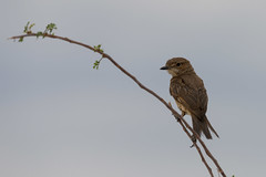 Chat Flycatcher (chlorophonia) Tags: birds animals namibia animalia vertebrates muscicapidae oldworldflycatchers chatflycatcher oshikotoregion agricolainfuscatus