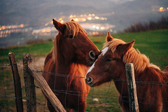 Love// Amor (Mireia B. L.) Tags: horses mammals helios58mmf2 helios442 bokeh vintagelens love amor ósculo beso caballo