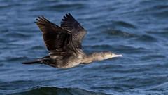 Cormorant (Explore) (NickWakeling) Tags: cormorant norfolk canoneos7dmarkii sigma150600mmf563dgoshsmcontemporary cleynextthesea