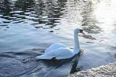 victoria park - swan a swimming (werewegian) Tags: victoria park glasgow pond bird path memorial walk werewegian jan20 swan reflection