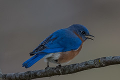 Sitting pretty (Explored) (Fred Roe) Tags: nikond7100 nikonafsnikkor200500mm156eed nature naturephotography national wildlife wildlifephotography animals birds birding birdwatching birdwatcher bluebird easternbluebird sialiasialis colors outside flickr feet peacevalleypark