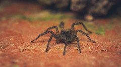 Wolf spider (joolz70) Tags: arachnid spider insect nature outdoors macro wolf
