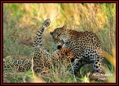 FEMALE LEOPARD AND HER CUB (Panthera pardus) ...MASAI MARA.....SEPT 2018. (M Z Malik) Tags: africa nikon kenya wildlife safari d3x 200400mm14afs cub leopard masaimara keekoroklodge flickrbigcats exoticafricancats exoticafricanwildlife pantheraparduc ngc npc