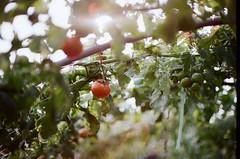 番茄熟了 (Long Tai) Tags: minolta kodak mc 200 112 58mm x700 rokkor colorplus