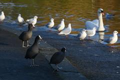 coots mon! (12/366) (werewegian) Tags: victoria park glasgow pond bird path memorial walk werewegian jan20 coot gull swan 366the2020edition 3662020 day12366 12jan2020
