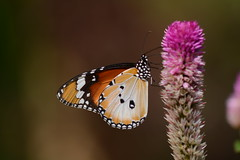 Plain tiger butterfly (Danaus chrysippus) (Treasure from a Traveller) Tags: danaus chrysippus plain tiger butterfly southeast asia singapore