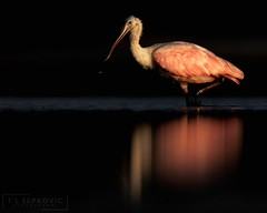 Roseate Spoonbill (T L Sepkovic) Tags: roseatespoonbill spoonbill shorebirds waders beach pink bird wildlifephotography canonusa canon5dmkiv lenscoat promediagear