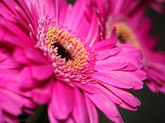 2020 #5 (David S Wilson) Tags: england flowers cambridgeshire olympuspenf floral ely 2020 davidswilson lightroom leica2845mmmacro