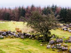 Stone Wall and Trees 2 (kckelleher11) Tags: 2019 40150mm ireland olympus december em1 f28 mzuiko rocks stone tree wall wicklow