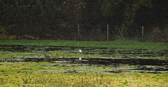 little egret on the flooded field (Johnson Cameraface) Tags: 2019 november autumn olympus omde1 em1 micro43 mzuiko 40150mm f40f56r johnsoncameraface floods littleegret doncaster southyorkshire rain