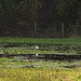 little egret on the flooded field