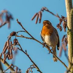 Robin Singing (PapaPiper) Tags: 2020 birds britishbirds gardenbirds gloucestershire england rspb uk unitedkingdom robin