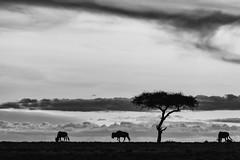 silhuette (renatecamin) Tags: kenia nacht sunset africa afrika silhuette animal wildebeest night kenya