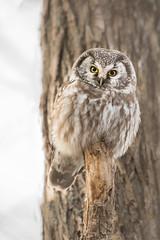 Nyctale de Tengmalm / Boreal Owl / Aegolius funerius (anniebevilacqua) Tags: nyctaledetengmalm borealowl aegoliusfunerius regard gaze réservenaturelledepointeyamachiche owl chouette