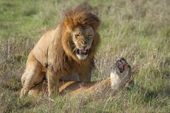 Masai Mara, Kenya (franck bordas) Tags: comportement kenya accouplement masaimara lion