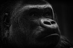 Attentive (Rico the noob) Tags: dof bokeh z7 500mm monkey nature switzerland animal zurich published monochrome schweiz indoor blackandwhite zoo bw animals 2019 closeup 500mmf56pf